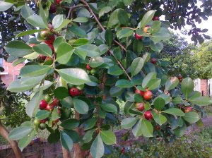 Cherry or strawberry guavas Feb 2011