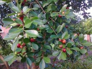 Cherry or strawberry guavas Feb 2011