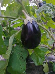 EggplantMay2014
