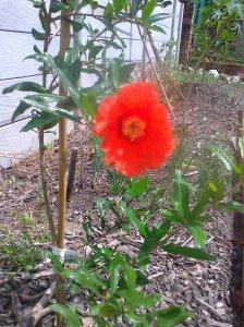 First pomegranate flower Nov 2011