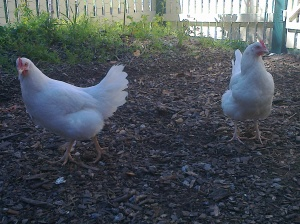 Leghorns Gay and Britney brave the odds amongst the other hens.